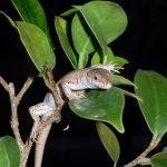 ¿Es posible amaestrar una lagartija?